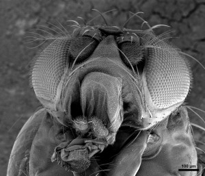 Head of Fruit Fly