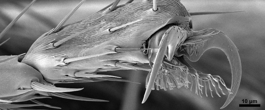 leg of a fruitfly wide format
