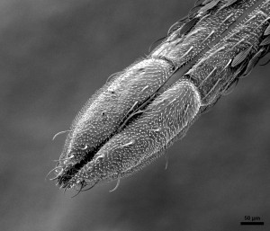 Tip of Mosquito Proboscis