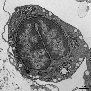Hemocyte of the Hawaiian Bobtail Squid